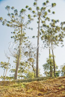 A grove of brazilian pine trees (Araucaria angustifolia - Araucariaceae), typical of Southern Brazil. Stock Photo - Royalty-Free, Artist: xicoputini                    , Code: 400-04321424