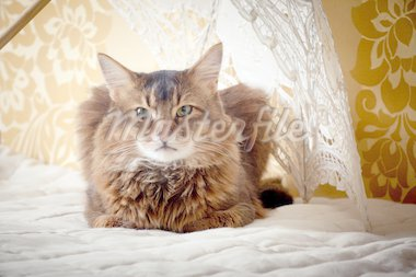 Rudy somali cat portrait under lace umbrella on vintage background Stock Photo - Royalty-Free, Artist: JuliaSha                      , Code: 400-04323093