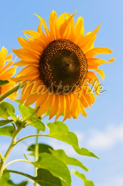 Blooming sunflower in the blue sky background. Stock Photo - Royalty-Free, Artist: kiankhoon                     , Code: 400-04326189