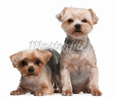Yorkshire Terriers, 18 months old, sitting in front of white background Stock Photo - Royalty-Free, Artist: isselee                       , Code: 400-04329944