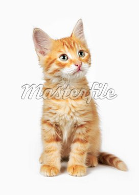 Red cat on a white background Stock Photo - Royalty-Free, Artist: krasyuk                       , Code: 400-04344025