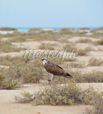 Large Osprey standing on the ground in a desert wilderness Stock Photo - Royalty-Free, Artist: paulvinten                    , Code: 400-04352331