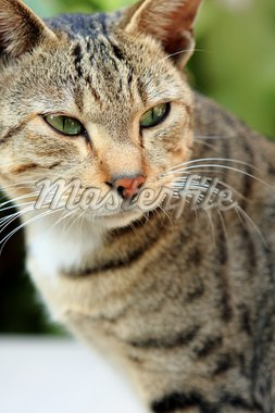 Adult tabby cat looking over the edge of a white table Stock Photo - Royalty-Free, Artist: cozyta                        , Code: 400-04357166