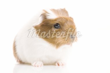 baby guinea pig Stock Photo - Royalty-Free, Artist: joannawnuk                    , Code: 400-04376625