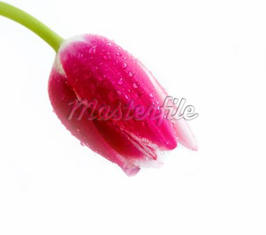 Image of pink tulip with waterdrops isolated on white background Stock Photo - Royalty-Free, Artist: pressmaster                   , Code: 400-04377413
