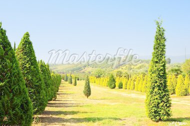 Cypress Trees in The Nursery Garden in Tuscany, Italy Stock Photo - Royalty-Free, Artist: gkuna                         , Code: 400-04380140