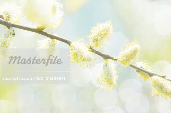 Willow branch in bright solar, spring day Stock Photo - Royalty-Free, Artist: JanBussan                     , Code: 400-04389911