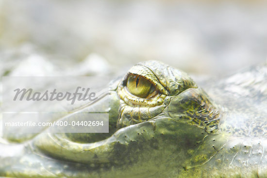 alligator eye as nice dangerous animal background Stock Photo - Royalty-Free, Artist: jonnysek                      , Code: 400-04402694