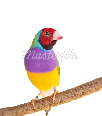 Australian finch Gouldian red headed male bird isolated on branch Stock Photo - Royalty-Free, Artist: sherjaca                      , Code: 400-04408450