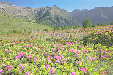 Rhododendron during spring/summer Stock Photo - Royalty-Free, Artist: Ssnowball                     , Code: 400-04411467