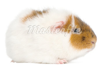 Teddy guinea pig, 9 months old, in front of white background Stock Photo - Royalty-Free, Artist: isselee                       , Code: 400-04412393
