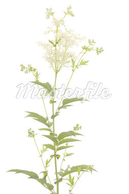 flower and leaf of herb on white background Stock Photo - Royalty-Free, Artist: dabjola                       , Code: 400-04415685
