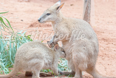 Australian iconic animal, brown kangaroo, outback Stock Photo - Royalty-Free, Artist: mroz                          , Code: 400-04418883