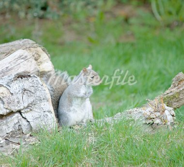 Grey Squirrel on Log Pile Stock Photo - Royalty-Free, Artist: suerob                        , Code: 400-04424685