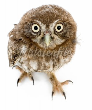 young owl in front of a white background Stock Photo - Royalty-Free, Artist: isselee                       , Code: 400-04451553