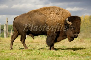 European Bison Stock Photo - Royalty-Free, Artist: isselee                       , Code: 400-04505122