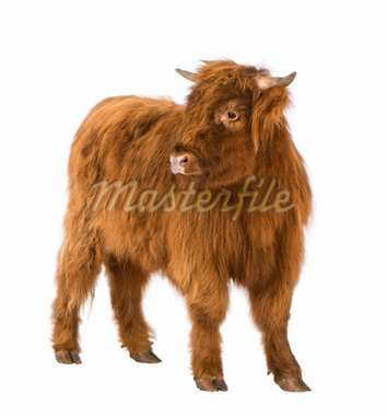 young Highland Cow in front of a white background Stock Photo - Royalty-Free, Artist: isselee                       , Code: 400-04592023