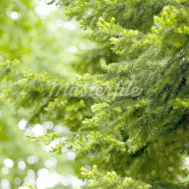 pine tree background Stock Photo - Royalty-Free, Artist: marylooo                      , Code: 400-04611081