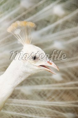 A  male white peacock displaying its feather. Stock Photo - Royalty-Free, Artist: szefei                        , Code: 400-04640422