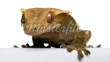 New Caledonian Crested Gecko against white background Stock Photo - Royalty-Free, Artist: isselee                       , Code: 400-04702308