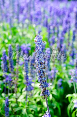 detail of a lavender field in the summer Stock Photo - Royalty-Free, Artist: nito                          , Code: 400-04719208