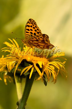 Butterfly Feeding On Yellow Flower. Azuga Valley, Romania Stock Photo - Royalty-Free, Artist: MihaiDancaescu                , Code: 400-04729931