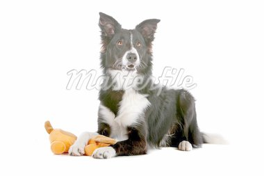 a border collie sheepdog isolated on a white background Stock Photo - Royalty-Free, Artist: eriklam                       , Code: 400-04742350