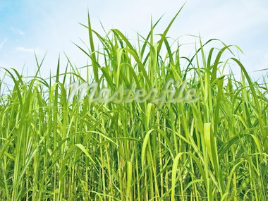 switch grass the renewable support for heating and diesel production Stock Photo - Royalty-Free, Artist: Jochen                        , Code: 400-04756371