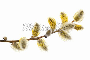 Pussy -willow in bloom on white background Stock Photo - Royalty-Free, Artist: dabjola                       , Code: 400-04846415