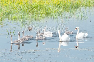 swans family swimming in water Stock Photo - Royalty-Free, Artist: tarczas                       , Code: 400-04861549