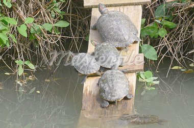 water turtles rests on the marsh surface Stock Photo - Royalty-Free, Artist: nico99                        , Code: 400-04872261