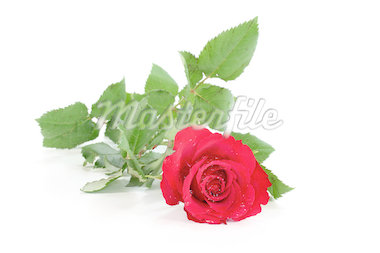 a red rose on a white background   Stock Photo - Royalty-Free, Artist: silencefoto                   , Code: 400-04889200