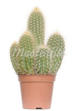 Cactus in front of white background Stock Photo - Royalty-Free, Artist: isselee                       , Code: 400-04891175