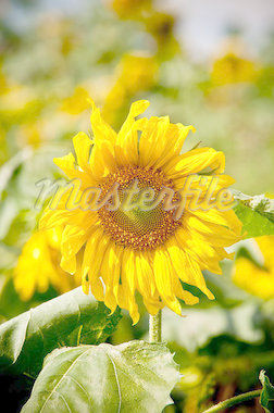 sunflower on wild field closeup Stock Photo - Royalty-Free, Artist: tarczas                       , Code: 400-04892702