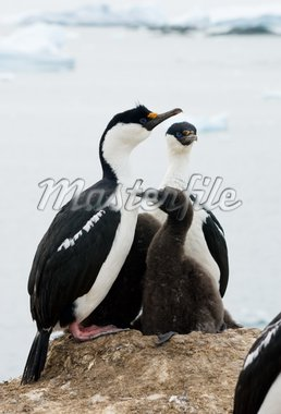 Two Antarctic blue-eyed cormorant sitting on a rock Stock Photo - Royalty-Free, Artist: pilipenkoD                    , Code: 400-04900451