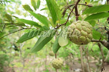 Custard apples or Sugar apples or Annona squamosa Linn. growing on a tree in garden at Thailand Stock Photo - Royalty-Free, Artist: olovedog                      , Code: 400-04900569