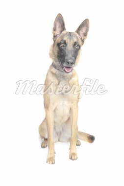 Belgian Shepherd Dog in front of a white background Stock Photo - Royalty-Free, Artist: eriklam                       , Code: 400-04901098