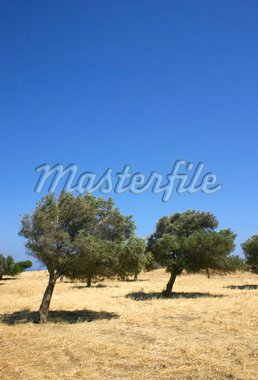 olive trees bending on windy hill, against blue sky background Stock Photo - Royalty-Free, Artist: Anterovium                    , Code: 400-04903173