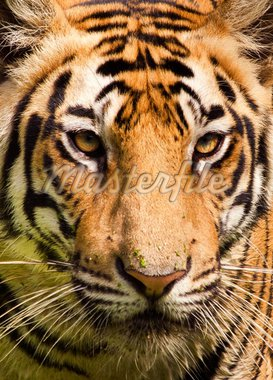 Portrait of a royal bengal tiger Stock Photo - Royalty-Free, Artist: avikgenxt                     , Code: 400-04908178