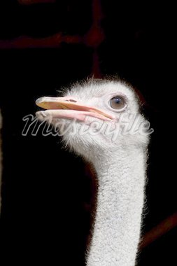 An ostrich against a black background Stock Photo - Royalty-Free, Artist: talsen                        , Code: 400-04916922