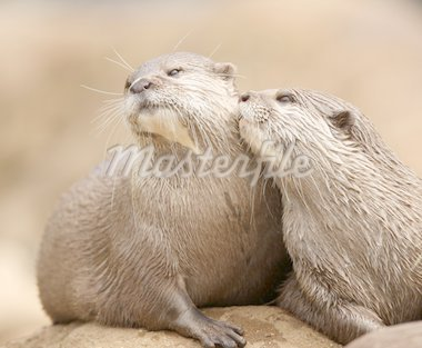 Oriental Short-Clawed Otters cuddling Stock Photo - Royalty-Free, Artist: scooperdigital                , Code: 400-04925568