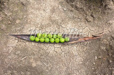 Kaffir limes on cracked dry soil ground Stock Photo - Royalty-Free, Artist: olovedog                      , Code: 400-04926135
