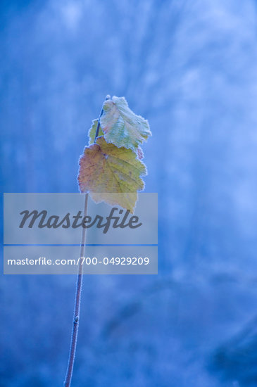 Frost Covered Leaves at Dawn, Turano Valley, Province of Rieti, Lazio, Italy Stock Photo - Premium Rights-Managed, Artist: Siephoto, Code: 700-04929209