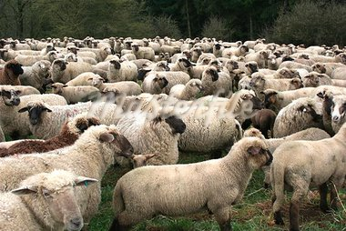 Sheep Herd in Germany Stock Photo - Royalty-Free, Artist: pillepalle                    , Code: 400-04969282