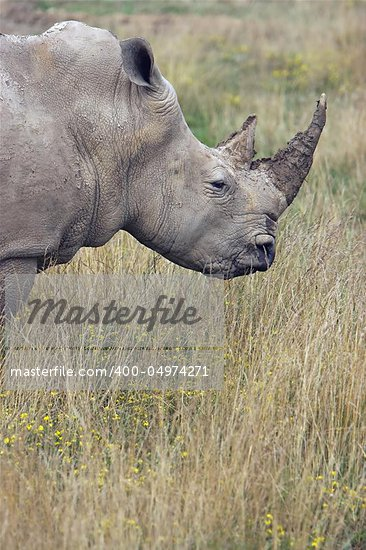 Profile of an adult Rhino in the grasslands Stock Photo - Royalty-Free, Artist: bthompso2001                  , Code: 400-04974271
