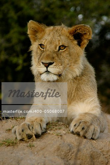 Lion Cub Stock Photo - Royalty-Free, Artist: ALERT                         , Code: 400-05068007