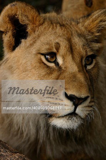 African Lion Cub Stock Photo - Royalty-Free, Artist: ALERT                         , Code: 400-05068017