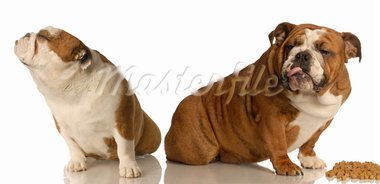 two english bulldogs arguing over dog food Stock Photo - Royalty-Free, Artist: willeecole                    , Code: 400-05092428