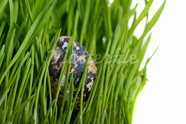 Quail  eggs  in green grass Stock Photo - Royalty-Free, Artist: vnlit                         , Code: 400-05113435