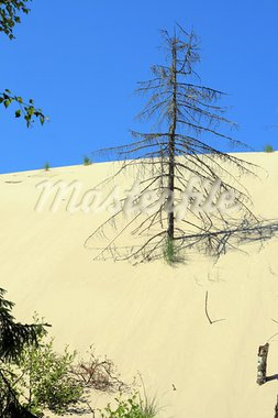 Grass and dead tree in sand dunes at Leba - Poland Stock Photo - Royalty-Free, Artist: remik44992                    , Code: 400-05164639